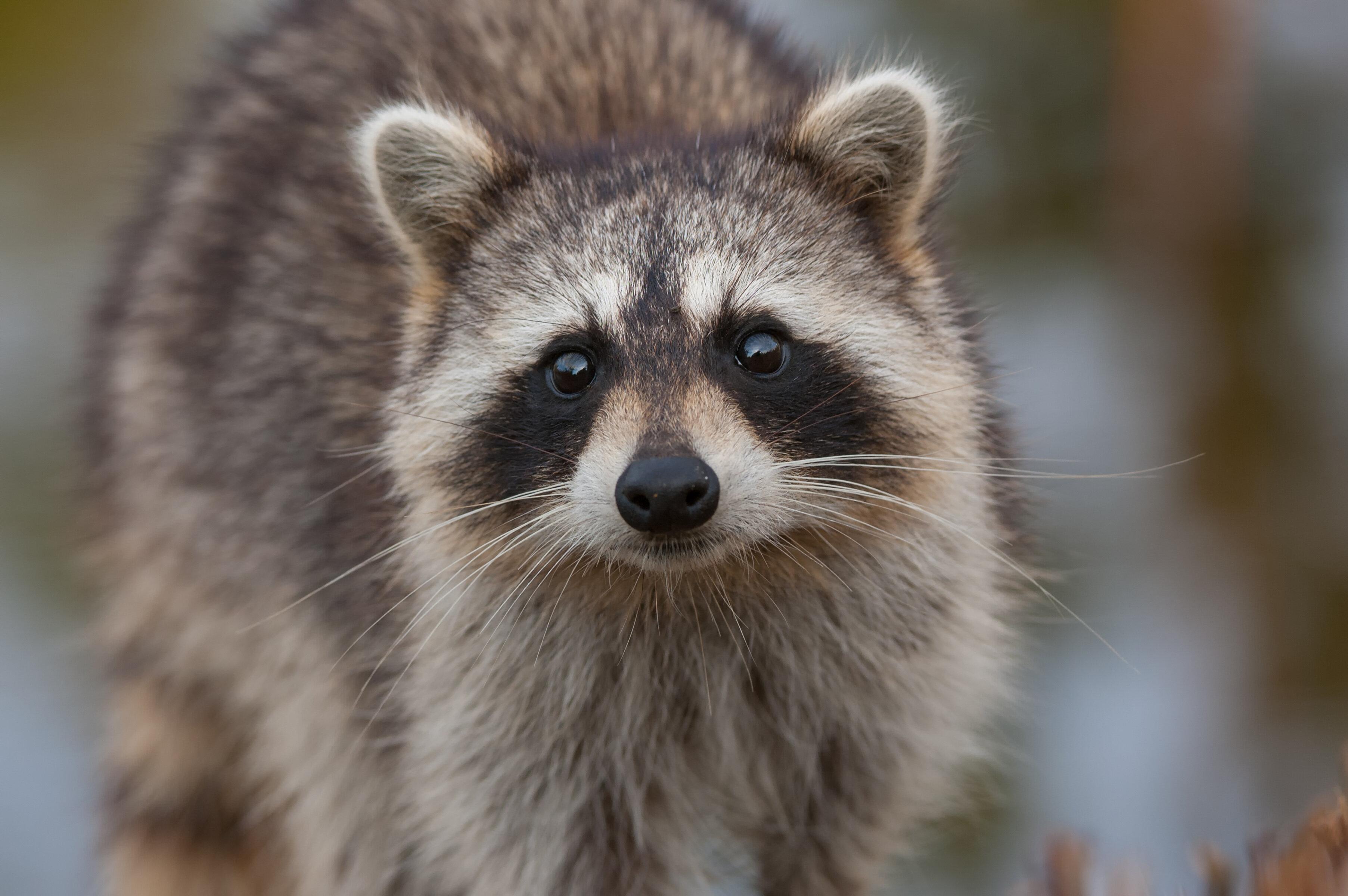Je ziet duidelijk de snoet van de wasbeer met het opvallend zwarte masker rond de ogen en zijn grijze vacht.