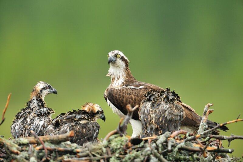 Visarend op nest met jongen
