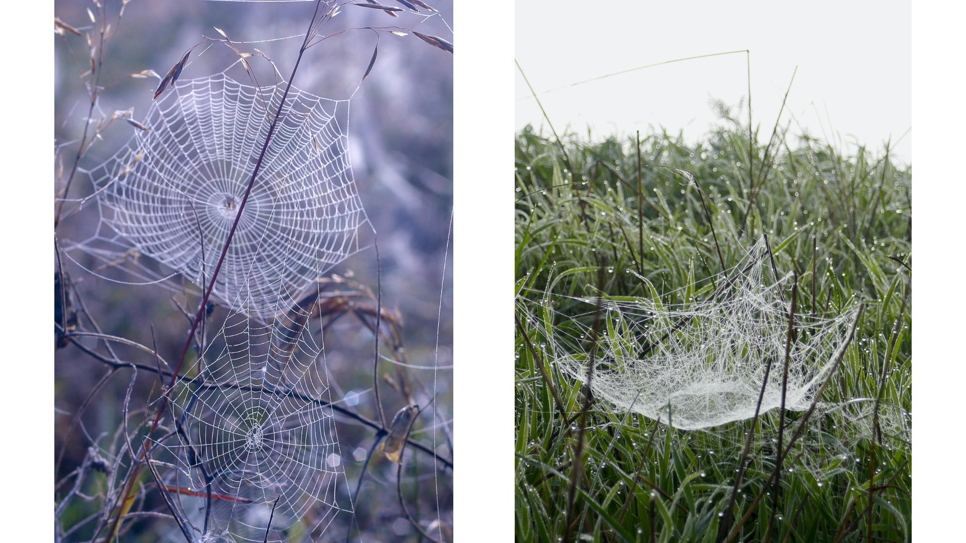 links: wielweb rechts: kaardeweb