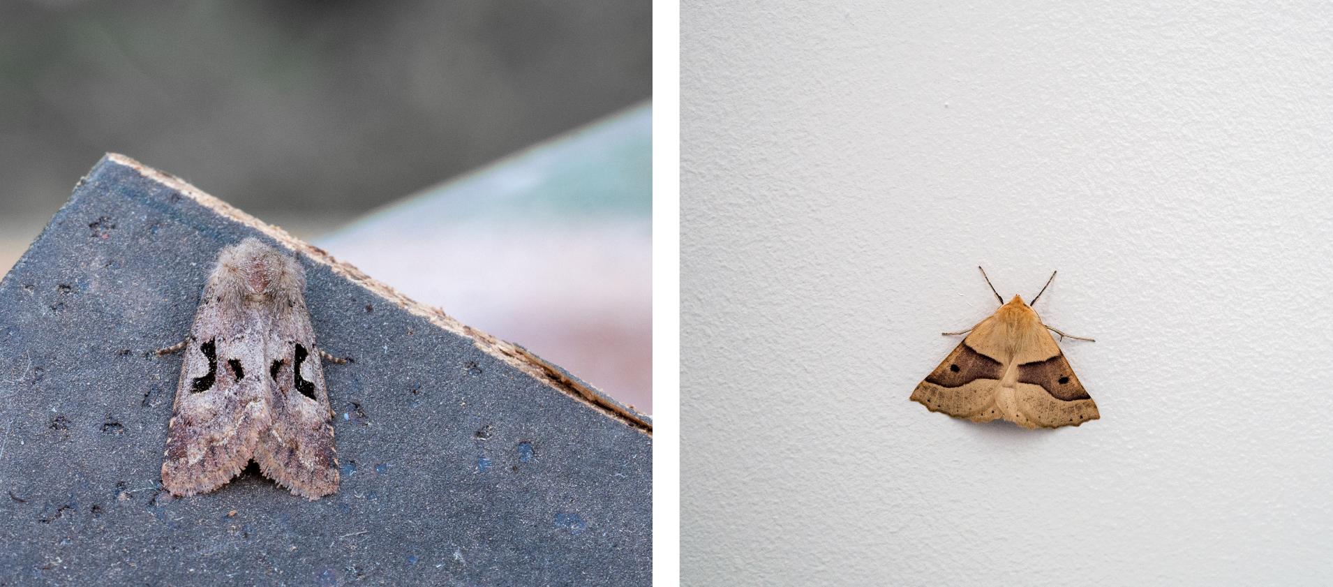 Links: nunvlinder & rechts: kortzuiger