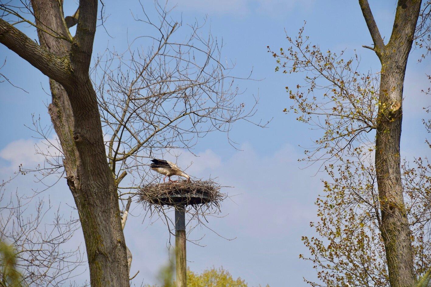 Ooievaar voert jong op nest