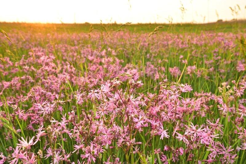 Velden vol echte koekoeksbloemen in de Uitkerkse polders