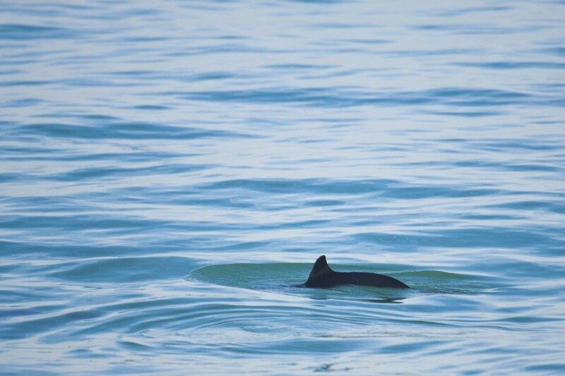 Bruinvis in de Noordzee