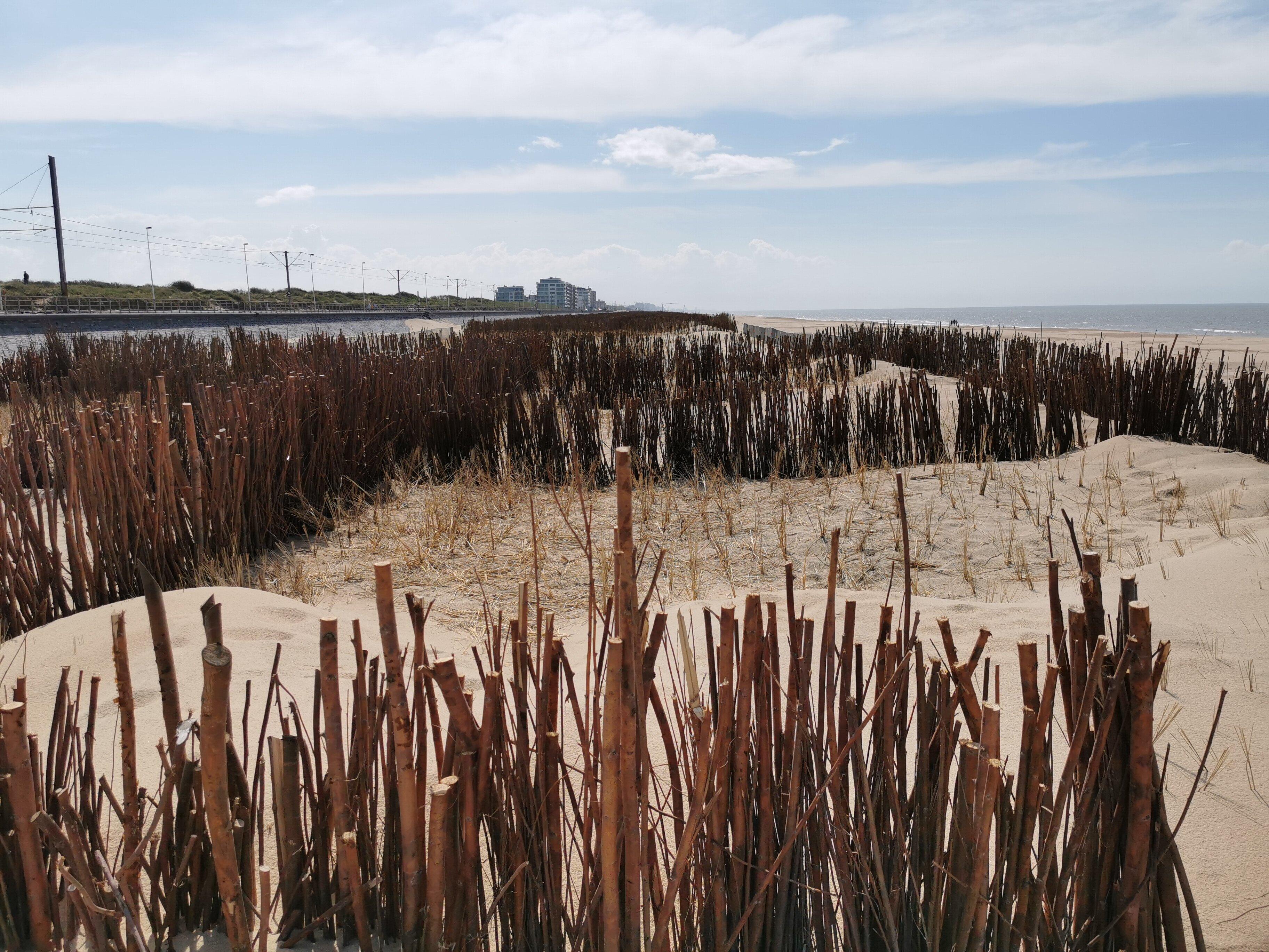 Op het strand van Raversijde vormt helmgras in combinatie met rijshout de basis van nieuwe duinen