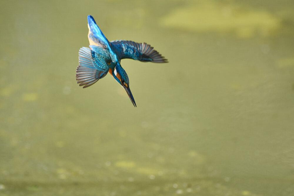 IJsvogel duikt in het water