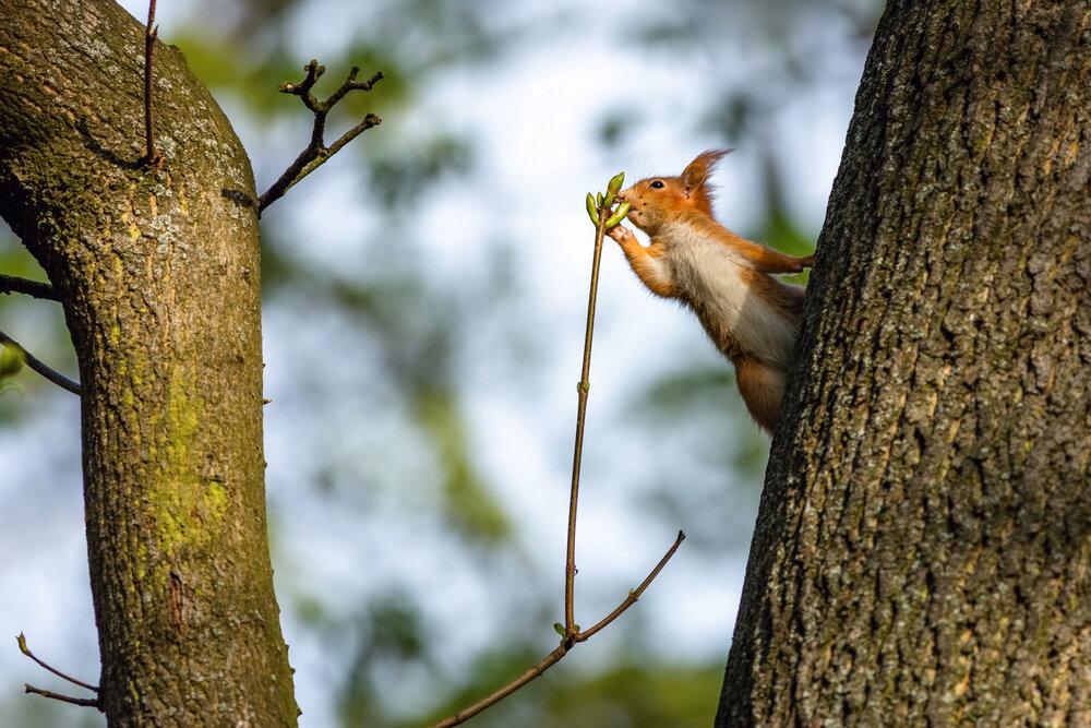 Rode eekhoorn klimt in boom en grijpt takje