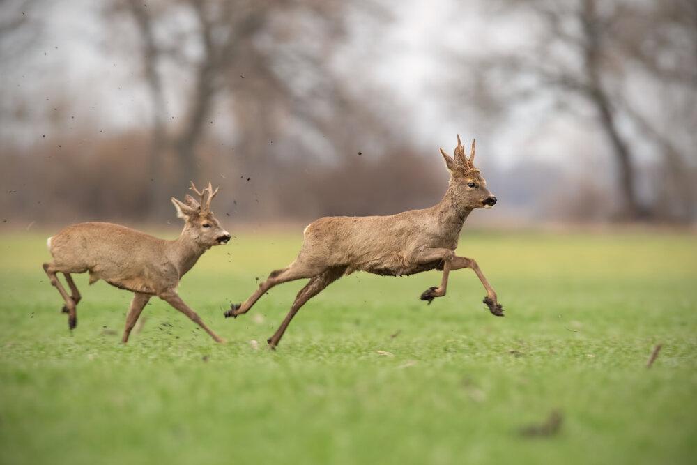 Twee springende reebokken op het gras