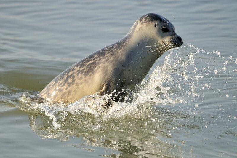Zeehond springt op uit het water