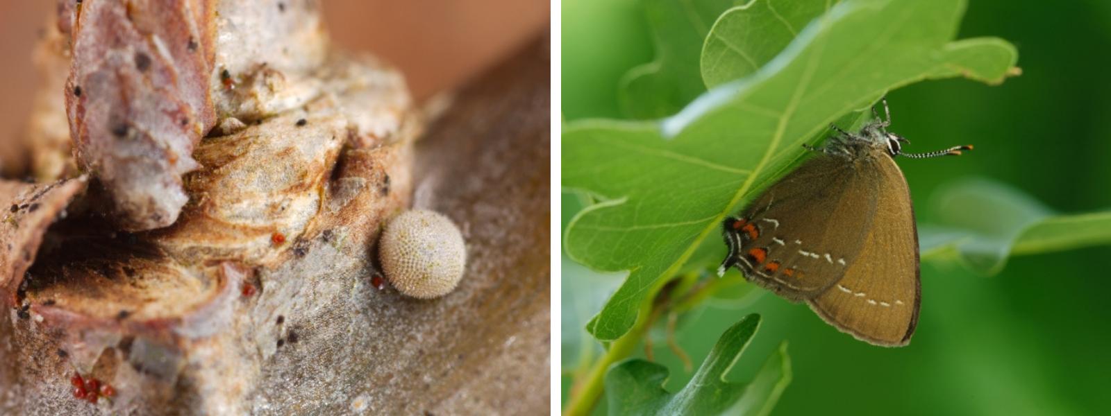 De bruine eikenpage (rechts) legt haar eitjes (links) op de zomereik
