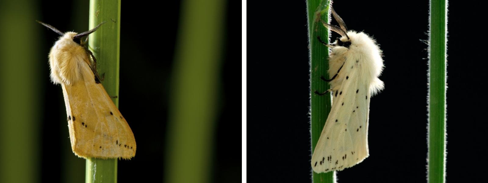 Links: gele tijger (Bert Willaert) en rechts: witte tijger (Rollin Verlinde)
