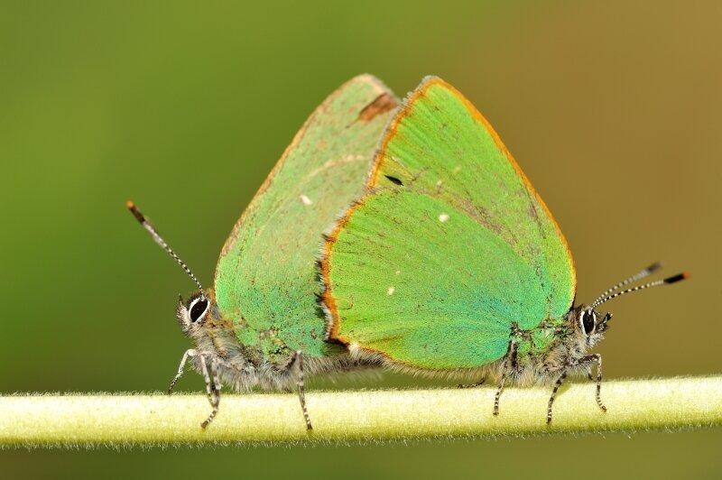 Is het een blaadje of is het een vlinder? Het groentje is een meester in vermomming.