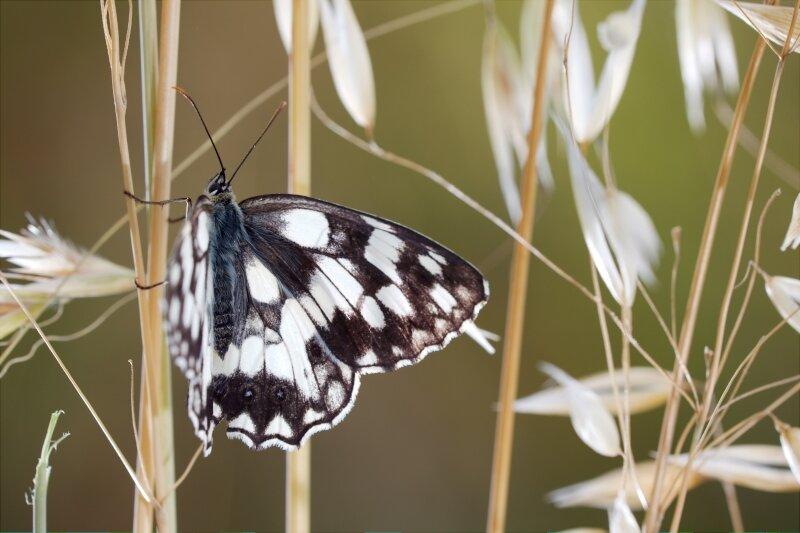 Het dambordje dankt zijn naam aan het opvallende patroon met witte vlekken op zijn vleugels.