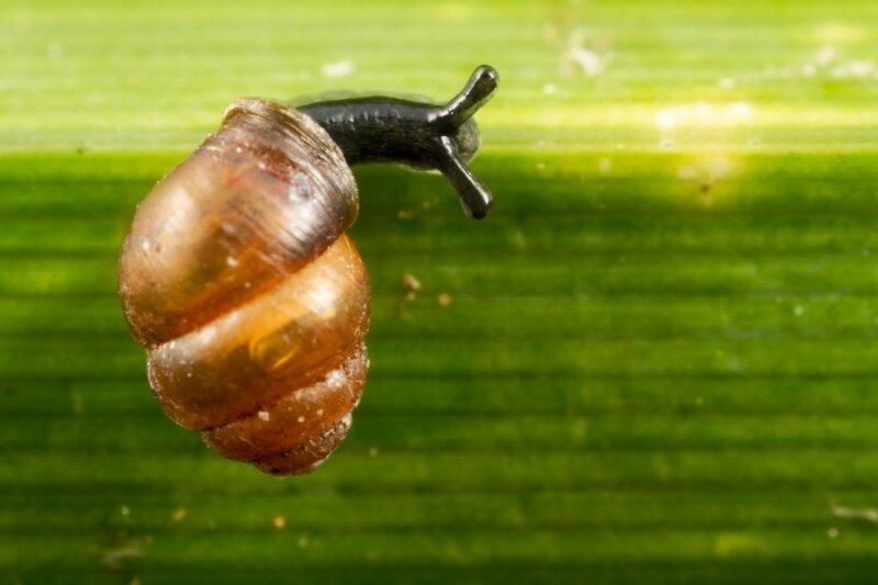 Zeggekorfslak