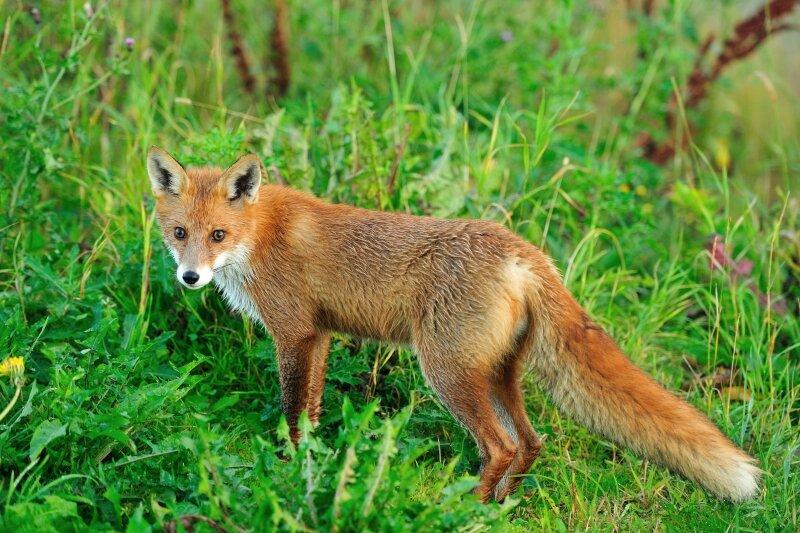 Rode vos op groen gras