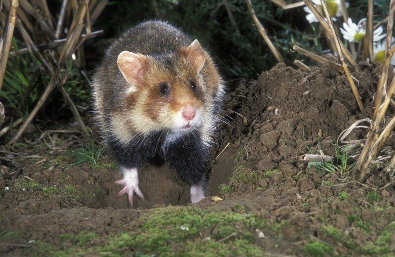 Hamster graaft een hol