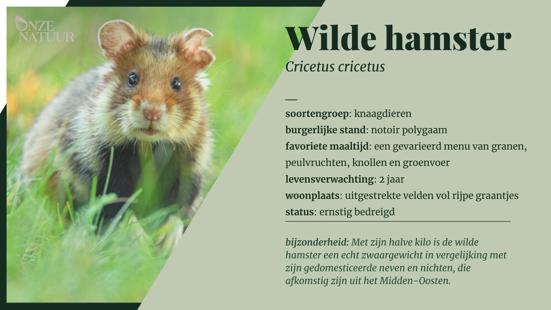 Fiche Wilde hamster