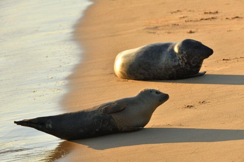 Twee zeehonden op het strand van Oostende