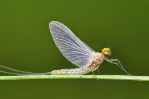 haft-eendagsvlieg-onze-natuur.jpeg