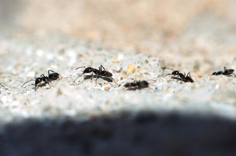 mieren-in-groep-op-een-rij-onze-natuur.jpg