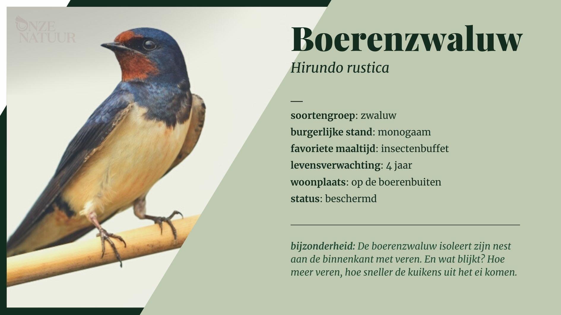 boerenzwaluw-nl.jpg