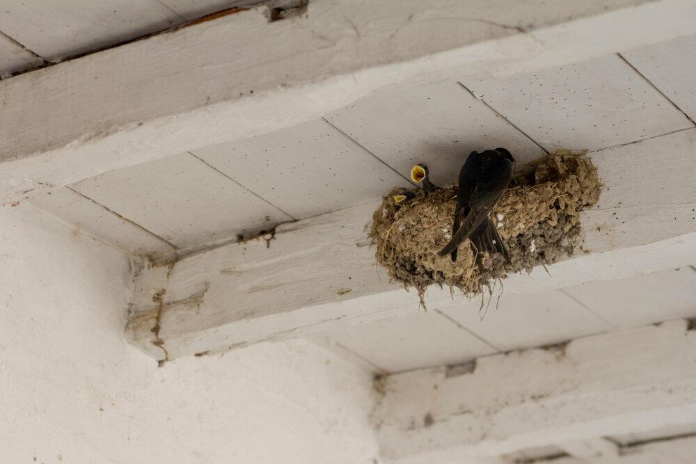 boerenzwaluw-nest.jpeg