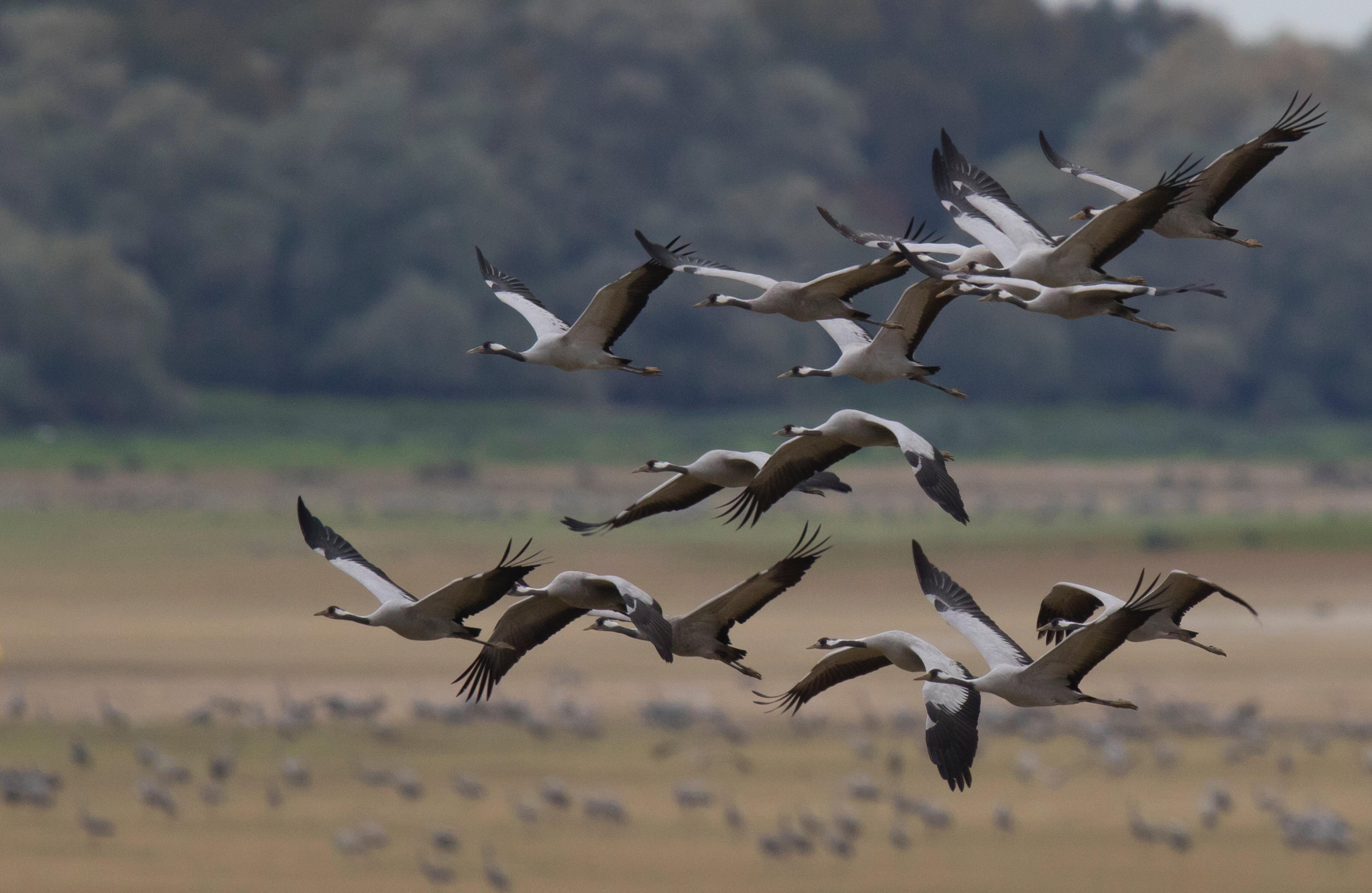 kraanvogels-8.jpg